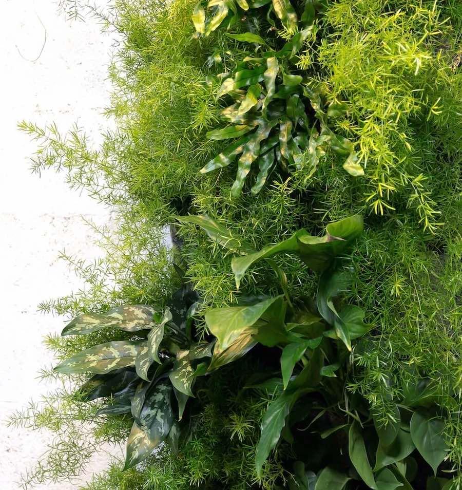 fragment d'un mur végétal majoritairement planté d'asparagus